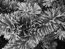 frost on pinus .jpg